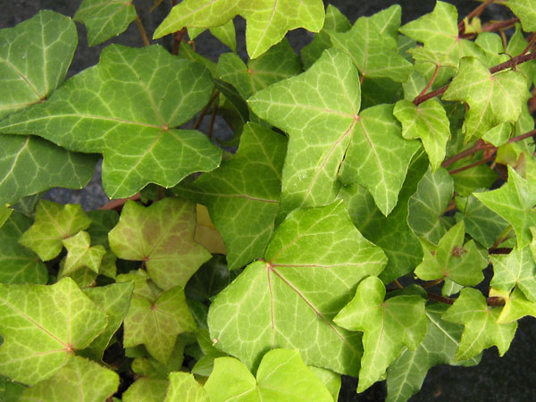 Pitsburgh-Hedera-helix